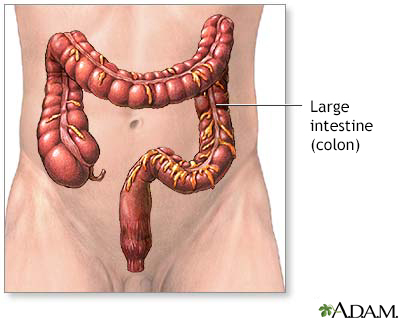 Large intestine anatomy
