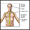 Central nervous system and peripheral nervous system